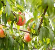 Hoe om `n Peach Tree Snoei