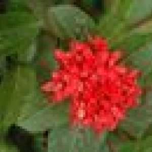 Is Ixora Plante Hardy in Suid-Florida?